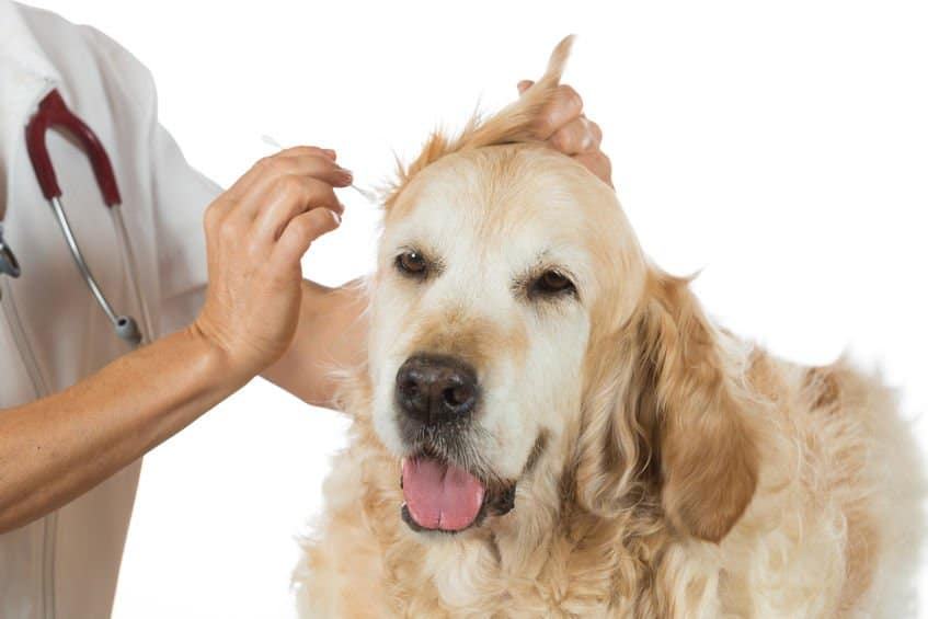 essential oil for dog ear infection