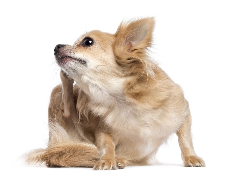 essential oil for itching in dogs