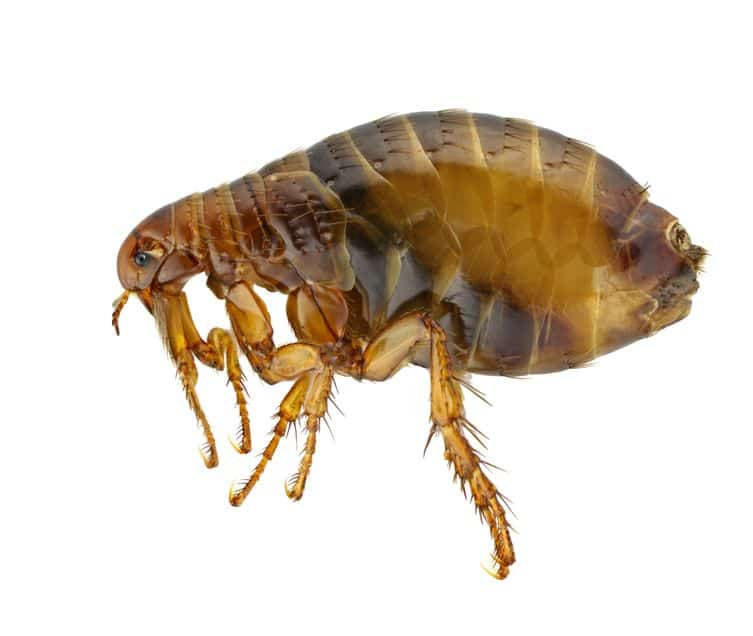 Essential Oils For Fleas: How To Get Rid of Fleas And Their Bites For Good Essential Oil Benefits