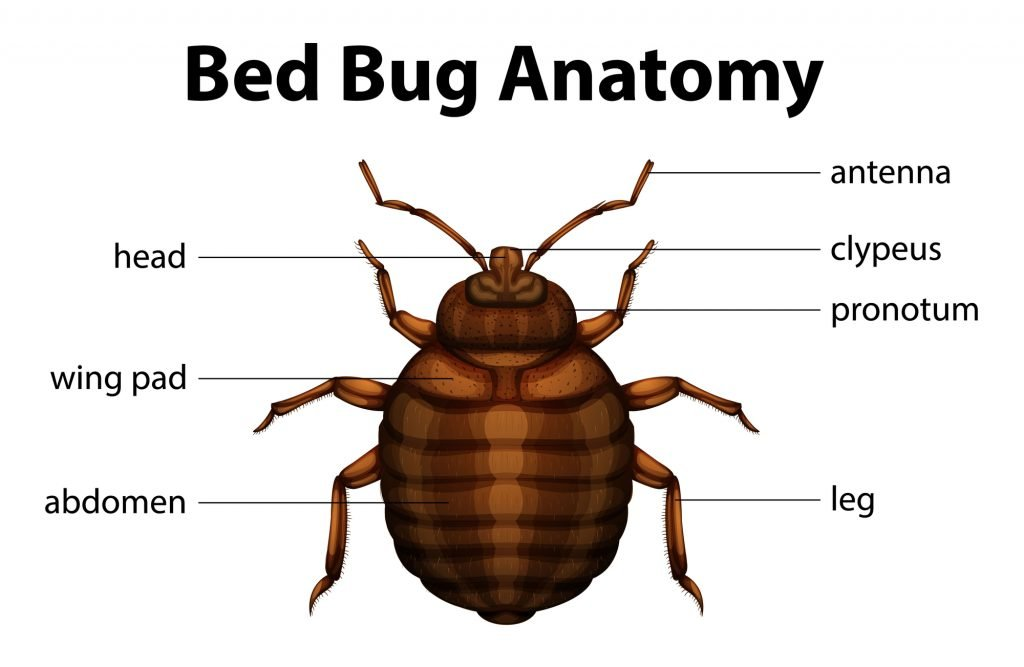 Essential Oils For Bed Bugs: Will The Real Slim Shady Vampire Please Stand Up? Essential Oil Benefits