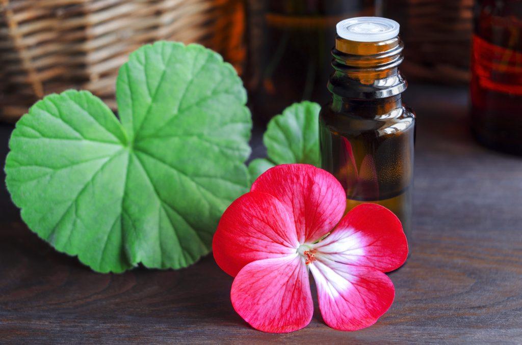 5 Óleos Essenciais Essenciais Para Massagem Terapêutica E Como Usá-los Benefícios Do Óleo Essencial &quot;width =&quot; 1024 &quot;height =&quot; 678 &quot;/&gt;</p><p>O gerânio é mais do que apenas uma linda flor <a href=