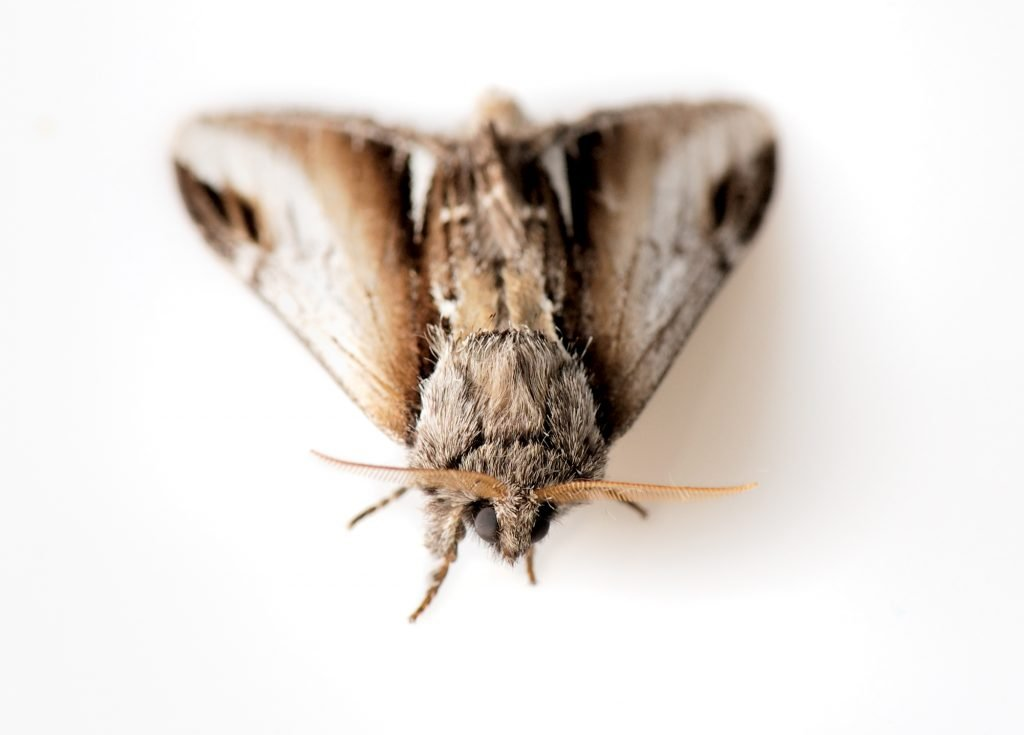 Essential Oils For Moths: The Ugly Butterfly That'll Leave You Naked, Blind And Breathless Essential Oil Benefits