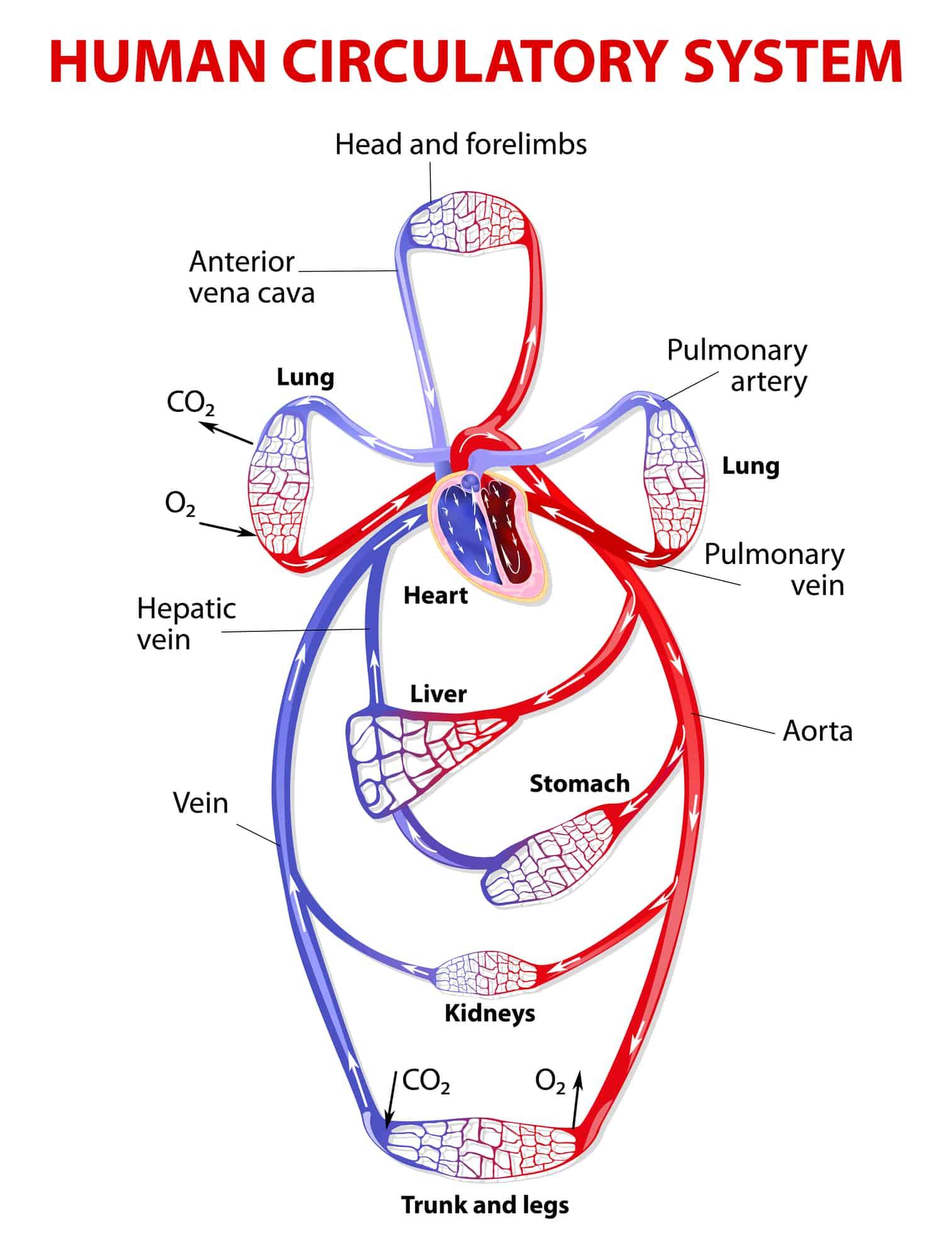 Use óleos essenciais para melhorar a circulação e fluxo sanguíneo! Benefícios do óleo essencial &quot;width =&quot; 1514 &quot;height =&quot; 1999 &quot;/&gt;</a></p><p>Vamos falar sobre como o coração e outros órgãos se comportam em resposta a distúrbios circulatórios. O problema dos problemas cardiovasculares é que eles têm um efeito composto no qual a causa se transforma no sintoma e vice-versa</p><p>O resultado líquido é um ciclo vicioso de problemas de saúde que rapidamente ultrapassam o sistema circulatório e começam a afetar todas as outras partes do corpo. uma olhada em como as coisas perigosas podem se desenvolver</p><p> <a href=